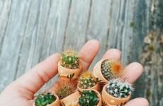 mikro kaktus